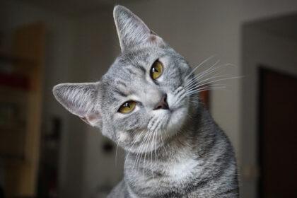 Katze - Zahnfleischentzündung