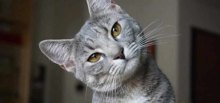 Zahnfleischentzündung bei der Katze – Ursachen und Behandlung