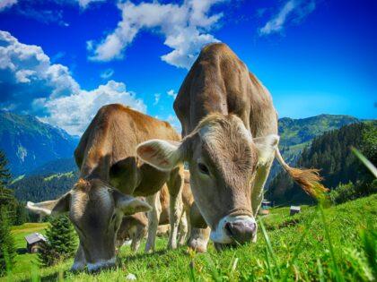 Kühe Milch Erstmilch Colostrum