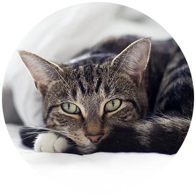 Katze grünlippmuschel gelenke