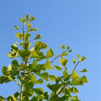 Ginkgo Biloba Baum für Durchblutung und gegen Vergesslichkeit