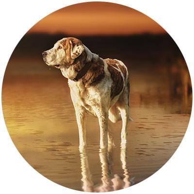 Hund Grünlippmuschel